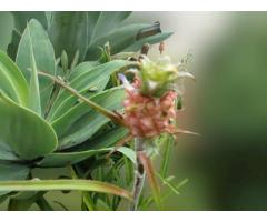 Muda De Mini Abacaxi Ornamental Para Vasos e Jardim. Valores nas descrições